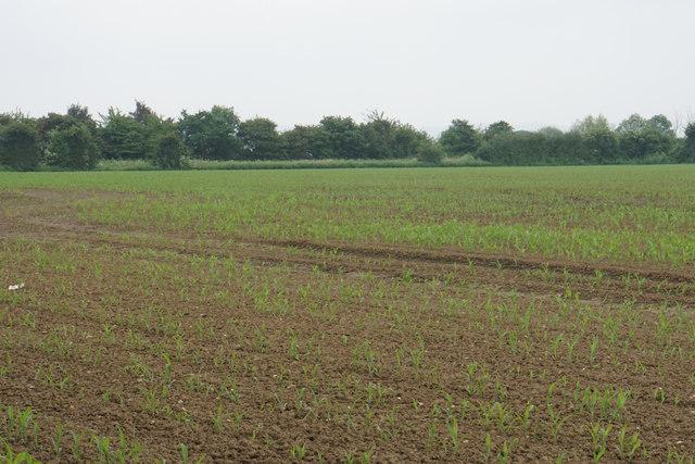 Emerging crop near Hardwicke