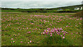 V7625 : Sea pinks, Barley Cove dunes by Mick Garratt