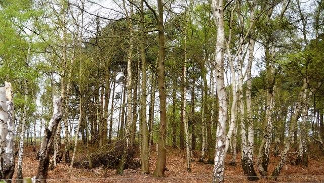 Woodland, Dersingham Bog