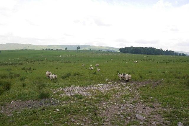 Sheep, Burnsands