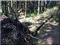 SX8979 : Fallen Norway Spruce, Haldon Forest west of Ashcombe Cross by Robin Stott
