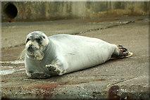 HU4741 : Bearded Seal (Erignathus barbatus), Small Boat Harbour, Lerwick by Mike Pennington