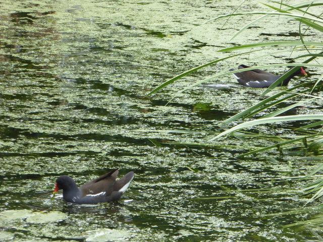 Moorhens on the pond at Pontlands Park Hotel, Great Baddow