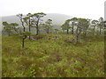 NH1922 : Trees, by Pollan Buidhe by Craig Wallace