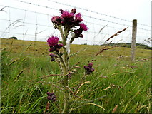 H5672 : Cuckoo spit on a thistle, Mullaghslin Glebe by Kenneth  Allen