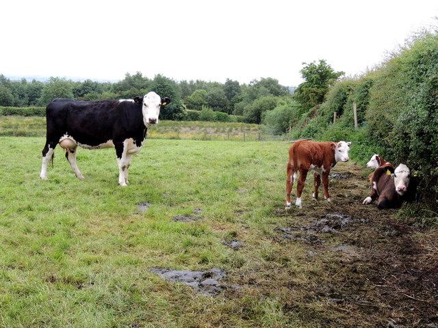Cow with calves, Bracky