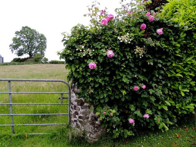 Roses and round stone pillars, Bracky