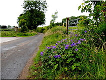 H5572 : Purple flowers along Shinnagh Road, Mullaghslin Glebe by Kenneth  Allen