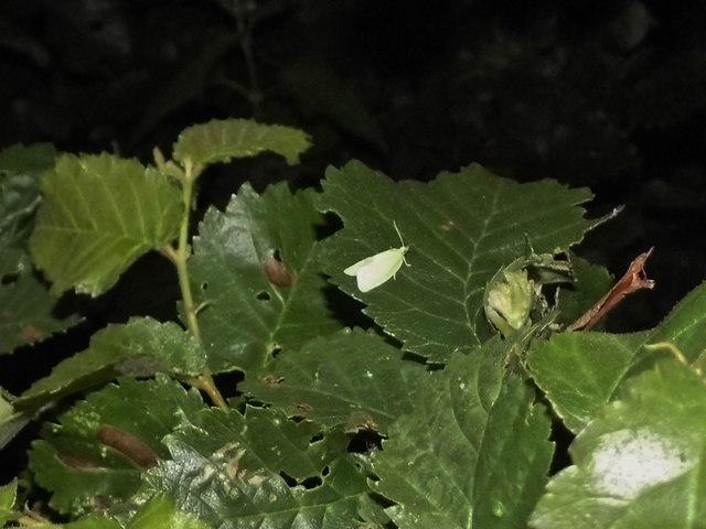 Green oak tortrix moth on Spernal Ash