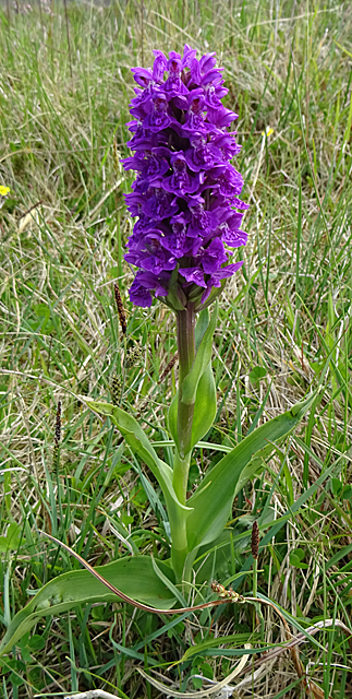 Northern Marsh Orchid (Dactylorhiza purpurella) by Anne Burgess