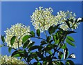 SE2822 : Elderberry blossom near Lower Park Farm by Neil Theasby