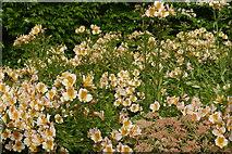 SE6756 : Alstroemeria, Raised Bed Garden, Breezy Knees Gardens by Rich Tea