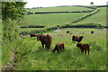 SS6841 : Brown cows near Barton Gate by Bill Boaden