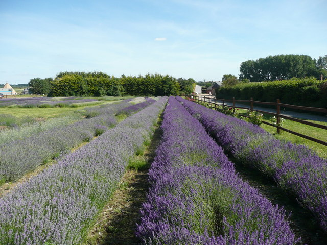 Hitchin Lavender Farm, Icklleford