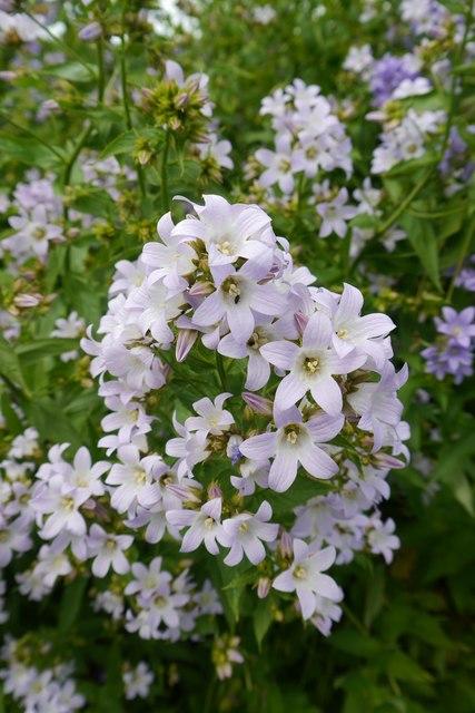 "Flowers of Campanula Lactifolia ""Loddon Anna"""