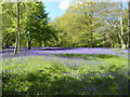 SW7936 : A carpet of bluebell - Enys Gardens by Chris Allen