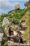 SS7049 : Feral goats by Ian Capper