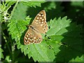 SO7640 : Speckled Wood butterfly by Philip Halling