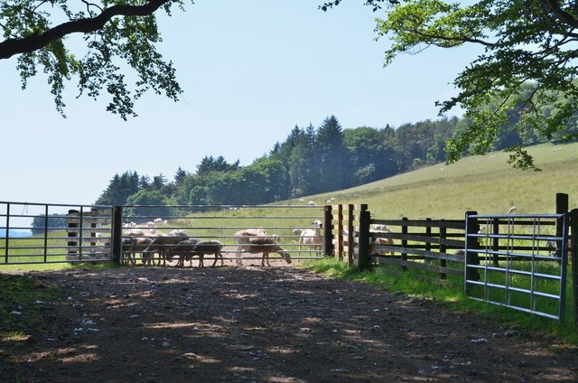 Sheep at the gate, Slipperfield