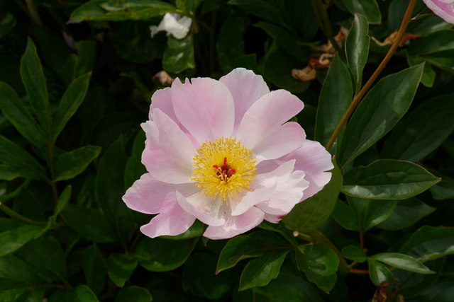 """Peony """"Nymphe"""" at Breezy Knees Gardens"""
