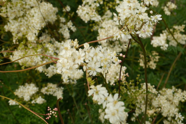 Flowers of Filipendula vulgaris, Breezy Knees Gardens