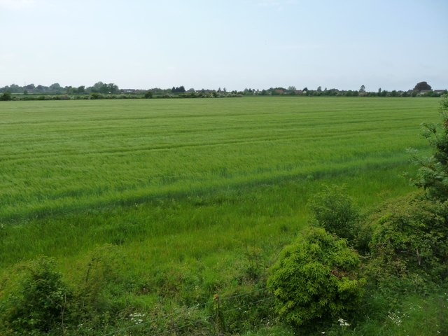 Cereal field on the southern edge of Dereham