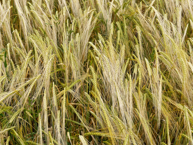 Barley field near Castlecraig