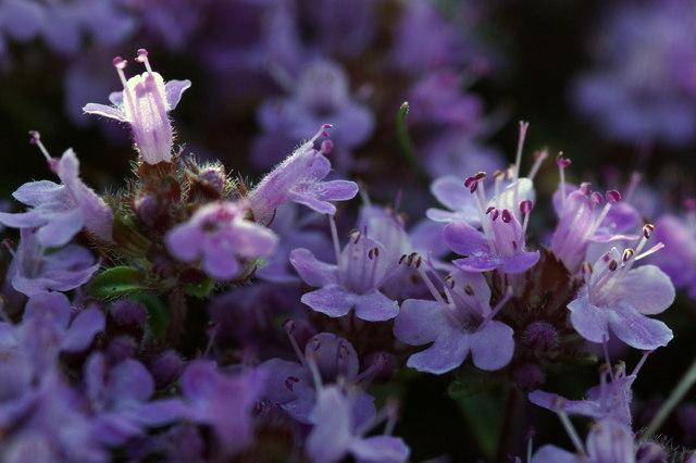 Wild Thyme (Thymus serpyllum), Aberlady Bay