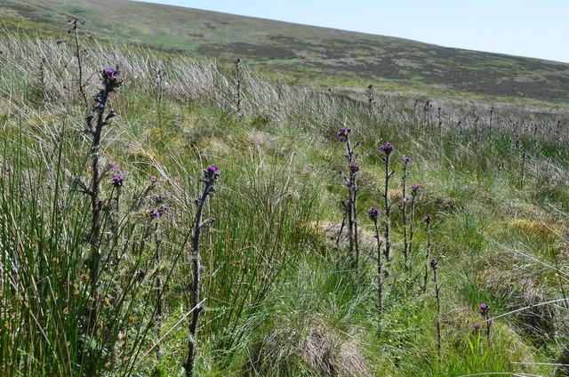 Thistles, West Water moorland