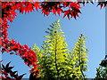 SO6020 : Maple and Tree Fern : Week 26