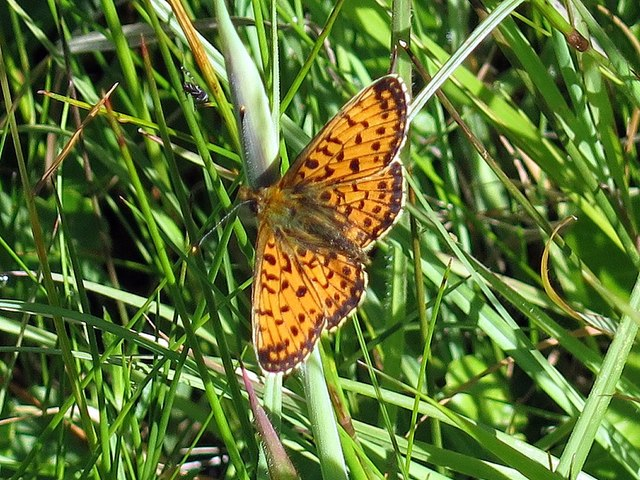 Small Pearl-bordered Fritillary, Scaling Dam Reservoir