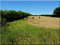 H5375 : Cattle, Fernagh by Kenneth  Allen