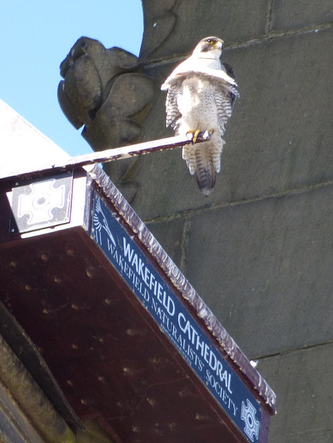 Wakefield cathedral - peregrine falcon