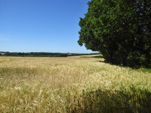 Barley field west of Woodside Wood