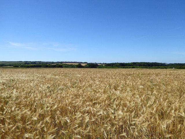 Barley field north of Clowes Wood