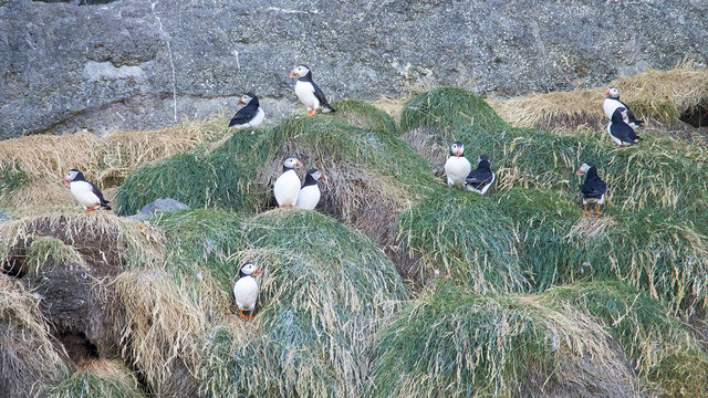 Puffins at The Gobbins