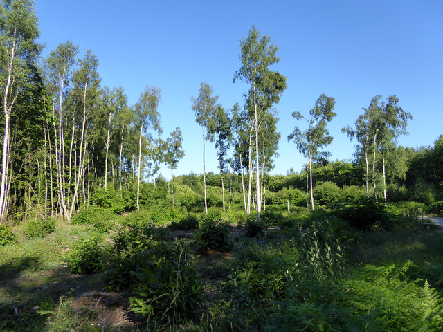 Silver Birch, Thornden Wood