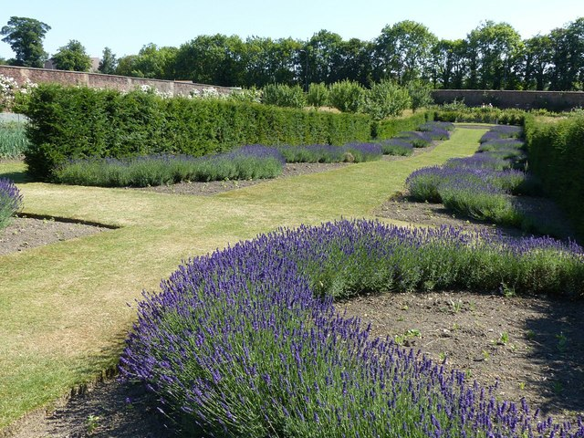 Lavender beds, Nostell Priory