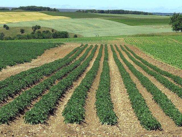 Potato crop, Hambleton Down