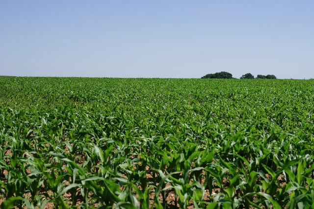 Crops Near Greatham