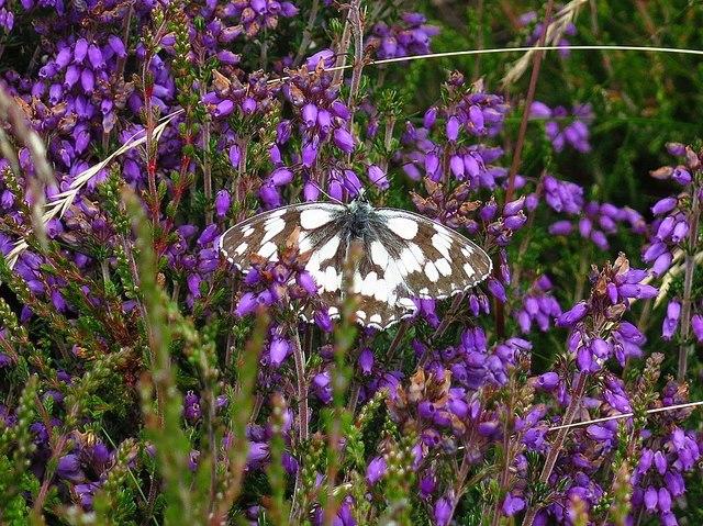 Marbled White (Melanargia galathea), Cawthorn Roman Camps