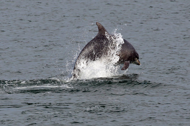A bottlenose dolphin at Cromarty