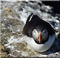 NM2742 : Puffin (Fratercula arctica) on Lunga (4) by Rob Farrow