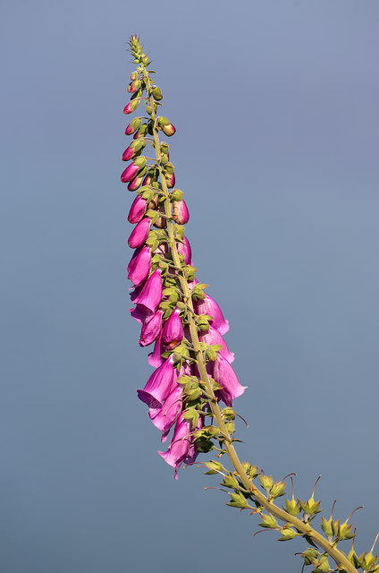 A foxglove at Gruinard Bay