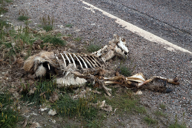 A well decomposed deer carcase by the A835