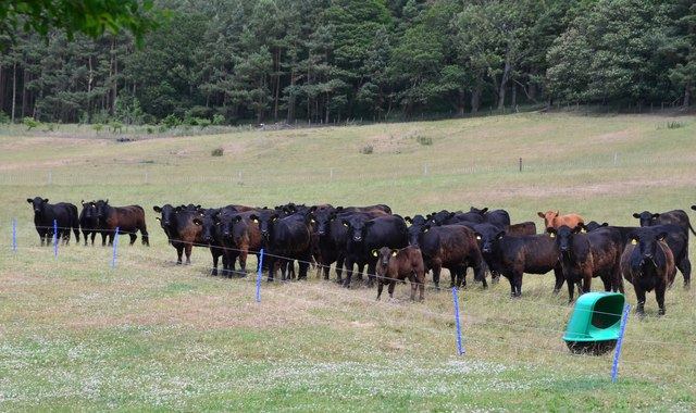 Black cattle, Barnside