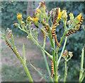 SP3177 : Cinnabar moth caterpillars : Week 28