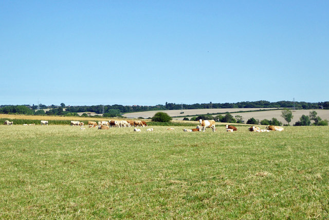 Cattle east of Calcott
