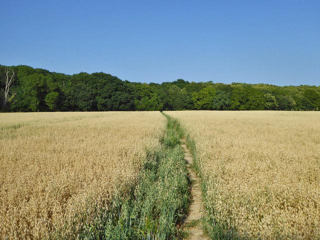 Footpath through a field of oats