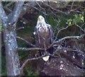 NM4759 : White Tailed Sea Eagle (Haliaeetus albicilla) adult by Rob Farrow